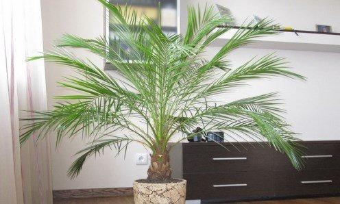 Пальма феникс: выращивание и правильный уход